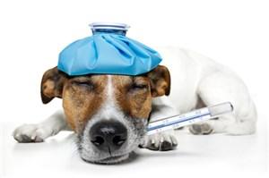 Как у животных измеряют температуру тела с помощью ветеринарного термометра?