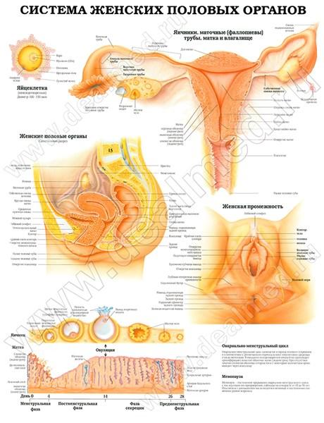 Виды женских органов их названия
